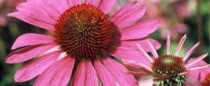 La echinacea previene sobreinfecciones bacterianas inducidas por la gripe.